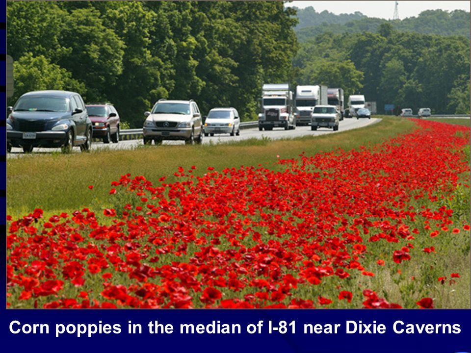 Corn poppies in the median of I-81 near Dixie Caverns