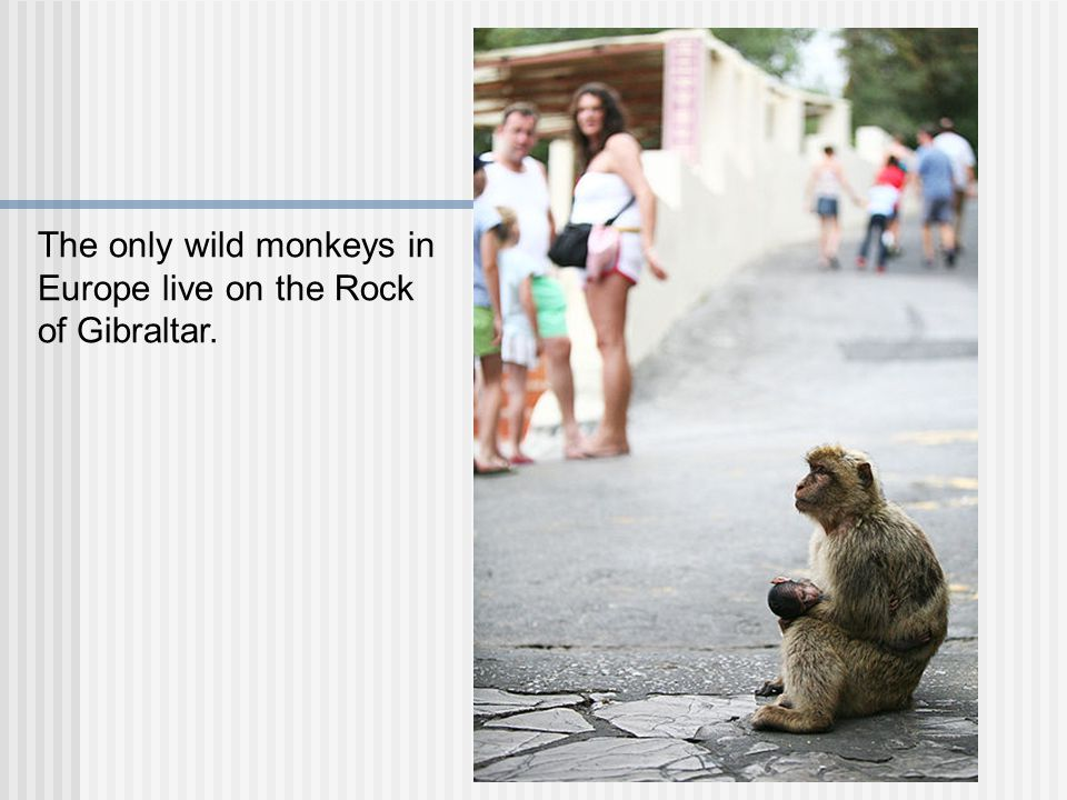 The only wild monkeys in