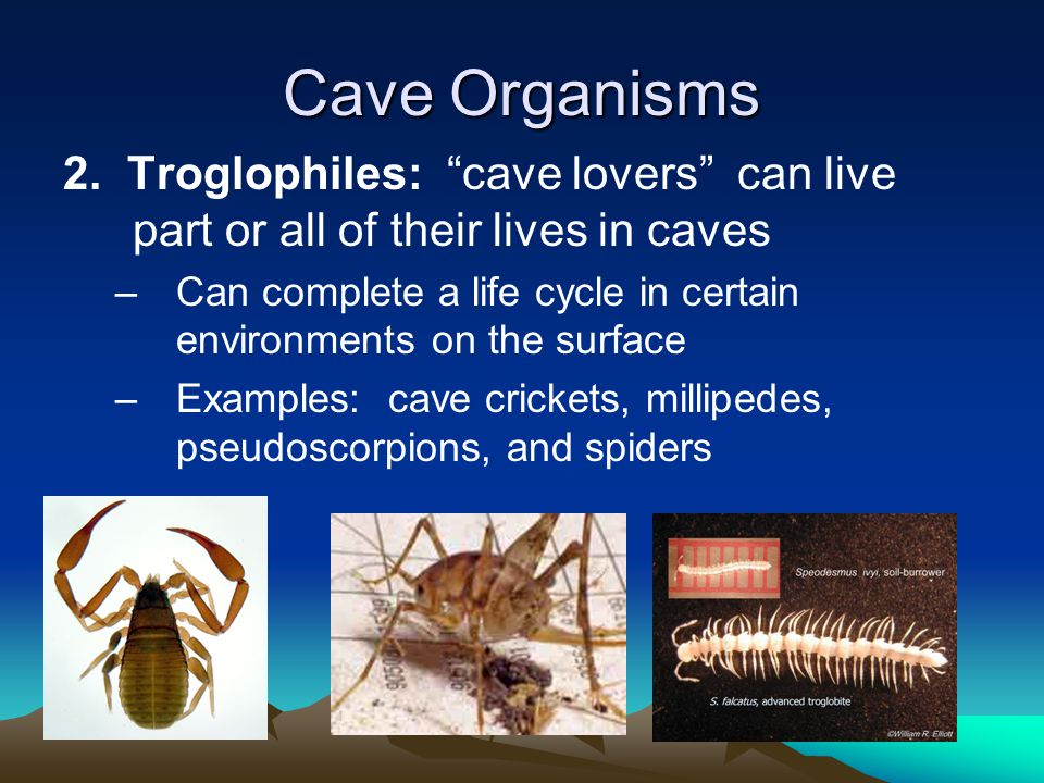 Cave Organisms 2. Troglophiles: cave lovers can live part or all of their lives in caves.