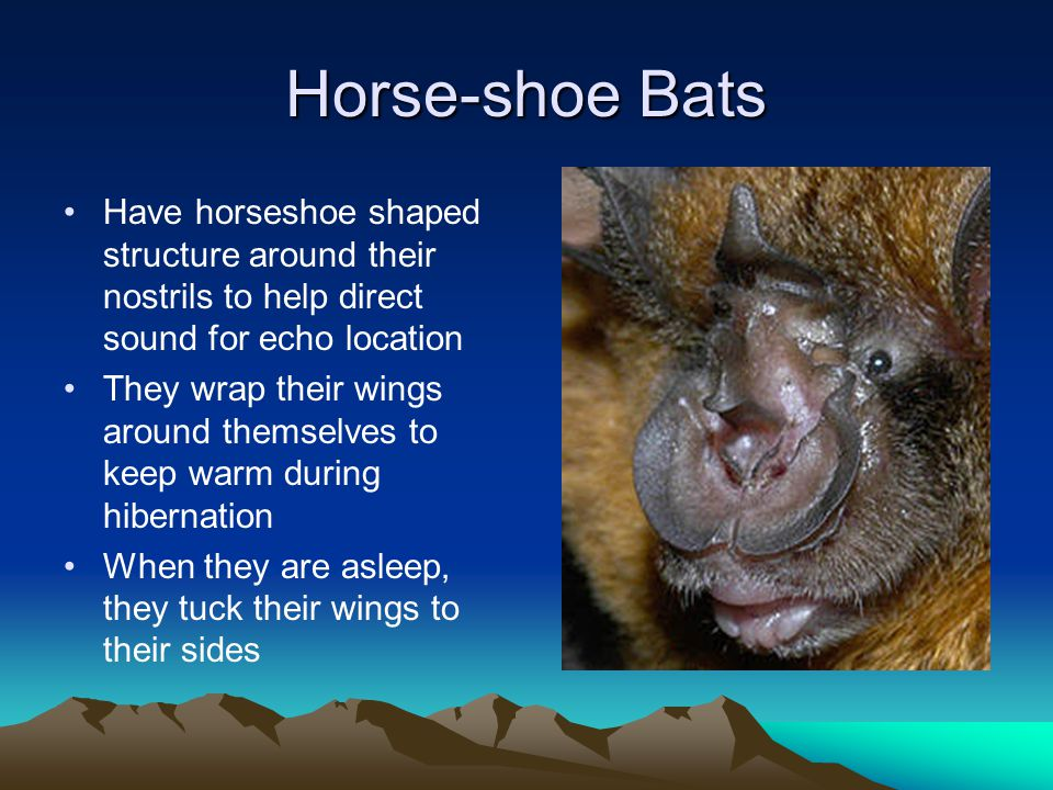 Horse-shoe Bats Have horseshoe shaped structure around their nostrils to help direct sound for echo location.