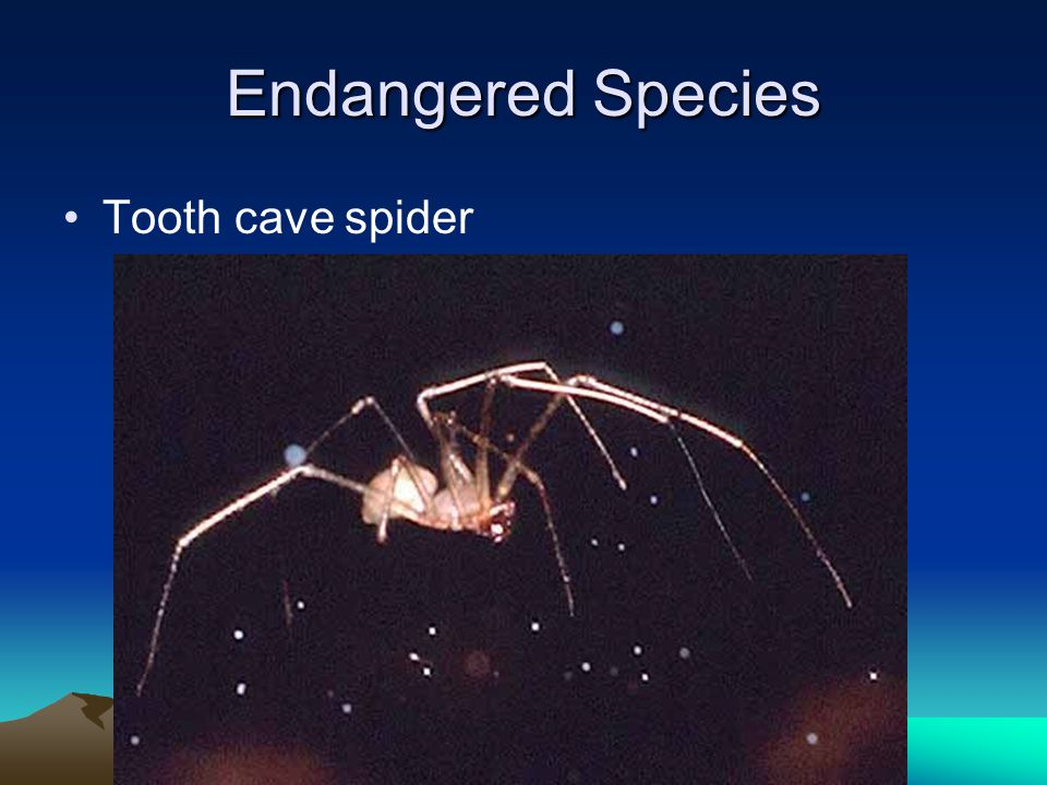 Endangered Species Tooth cave spider
