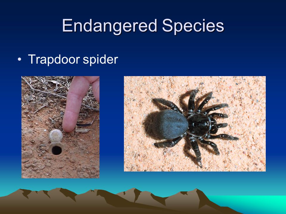 Endangered Species Trapdoor spider