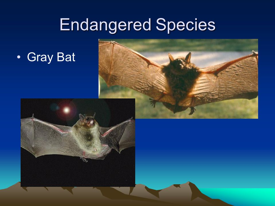 Endangered Species Gray Bat