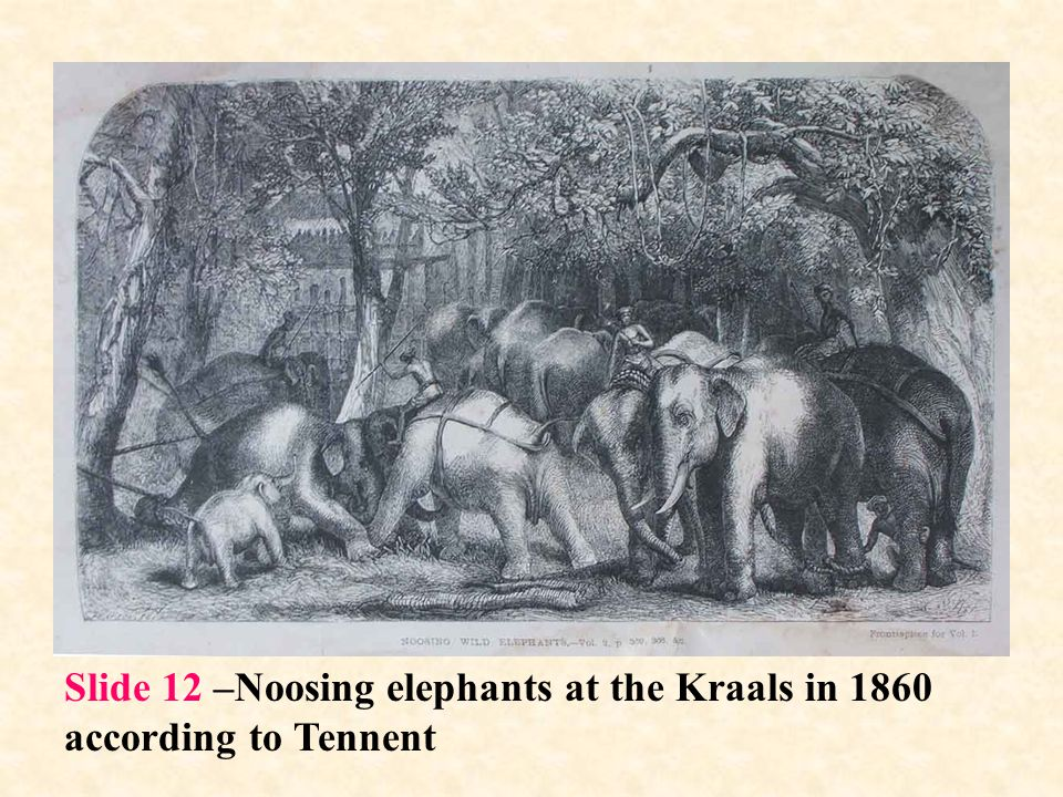 Slide 12 –Noosing elephants at the Kraals in 1860 according to Tennent