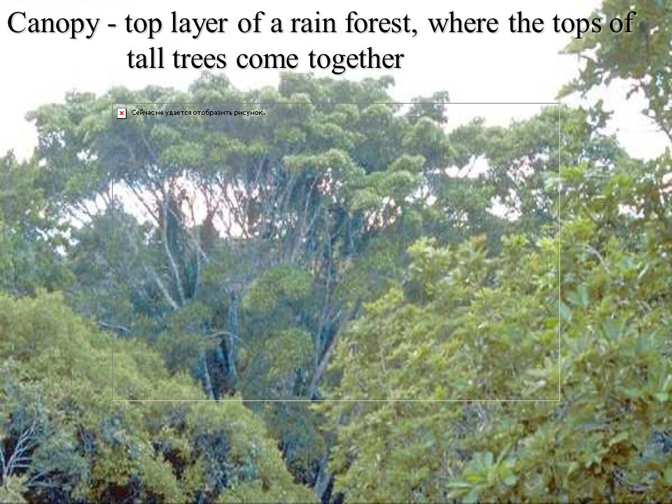 Canopy - top layer of a rain forest, where the tops of