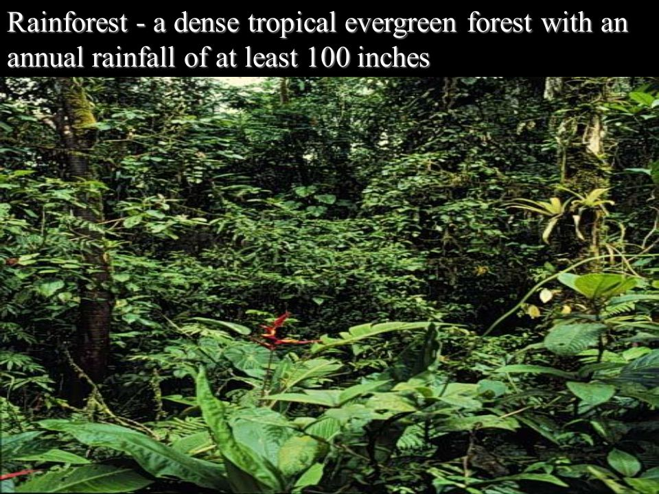 Rainforest - a dense tropical evergreen forest with an annual rainfall of at least 100 inches