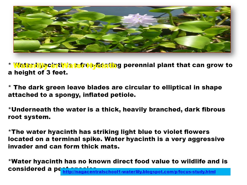 Waterlily or Water Hycinth