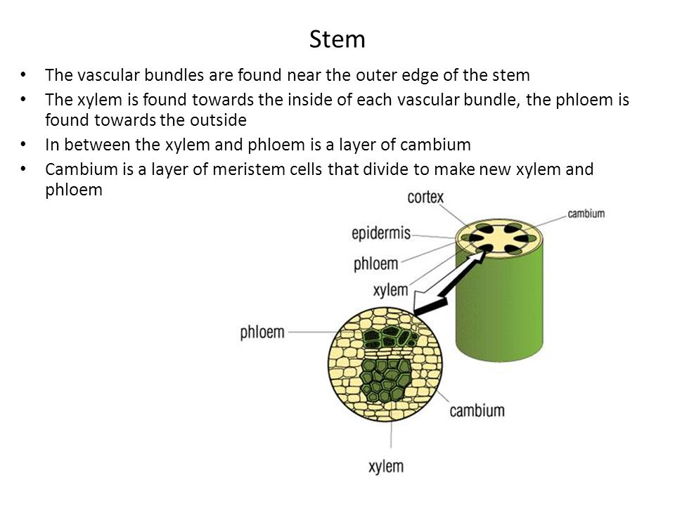 Stem The vascular bundles are found near the outer edge of the stem