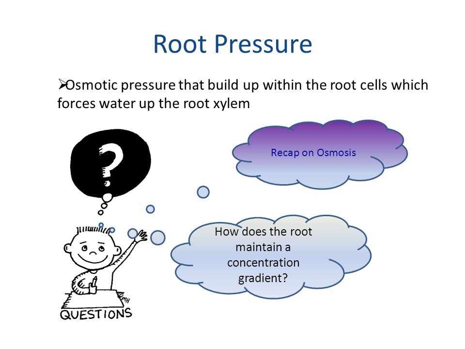 How does the root maintain a concentration gradient