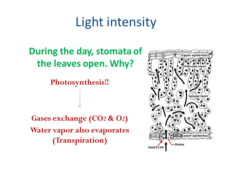 Light intensity During the day, stomata of the leaves open. Why