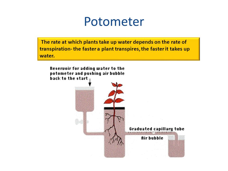 Potometer The rate at which plants take up water depends on the rate of transpiration- the faster a plant transpires, the faster it takes up water.
