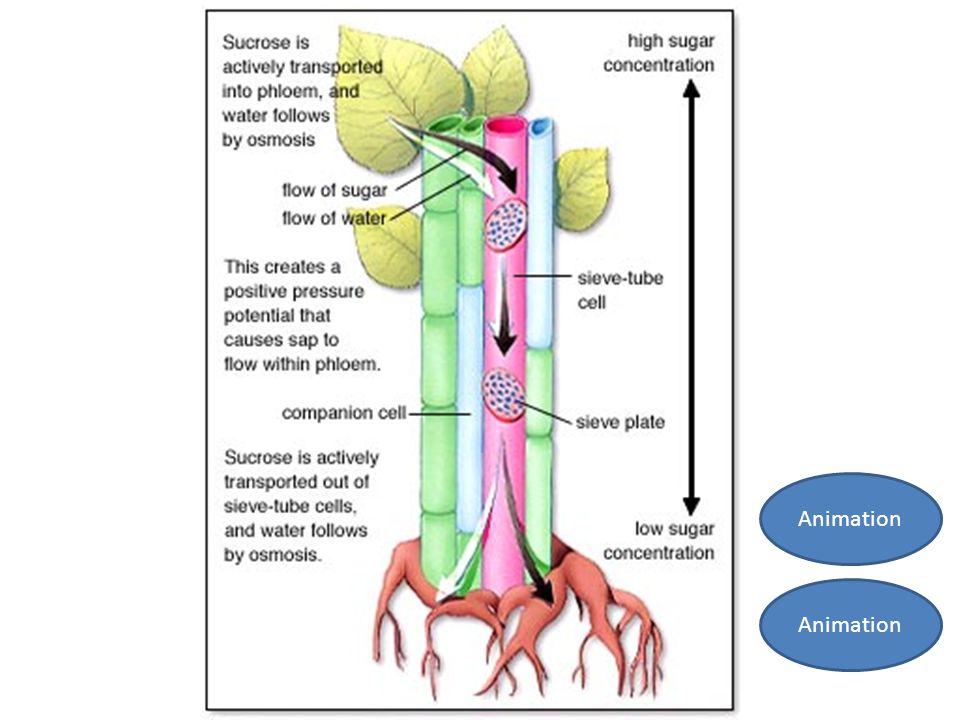 osmosis sultanas sucrose Lab report osmosis in grapes 1 osmosis in grapesmembers: diego coronado, nicolás angulo tamayo, carolina vergara, iván acevedo.