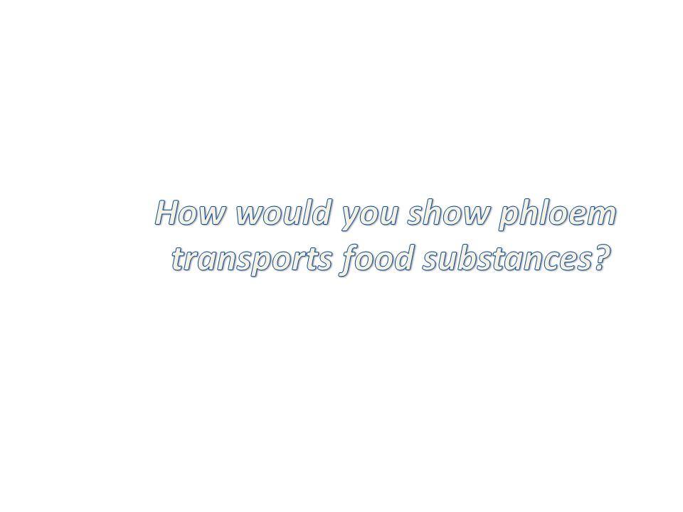 How would you show phloem transports food substances