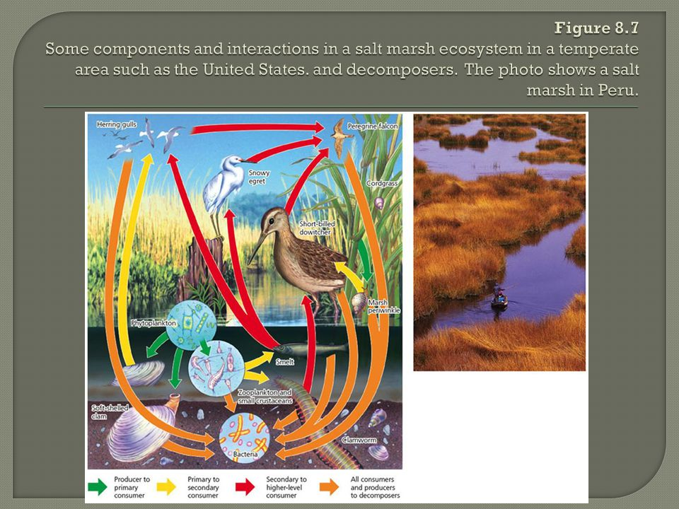 Figure 8.7 Some components and interactions in a salt marsh ecosystem in a temperate area such as the United States.