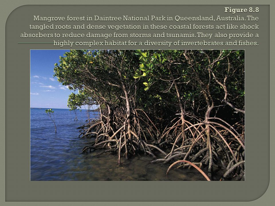 Figure 8.8 Mangrove forest in Daintree National Park in Queensland, Australia.