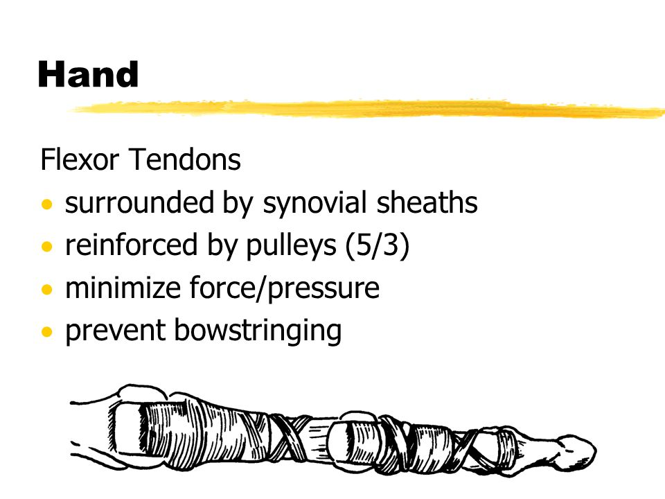 Hand Flexor Tendons surrounded by synovial sheaths