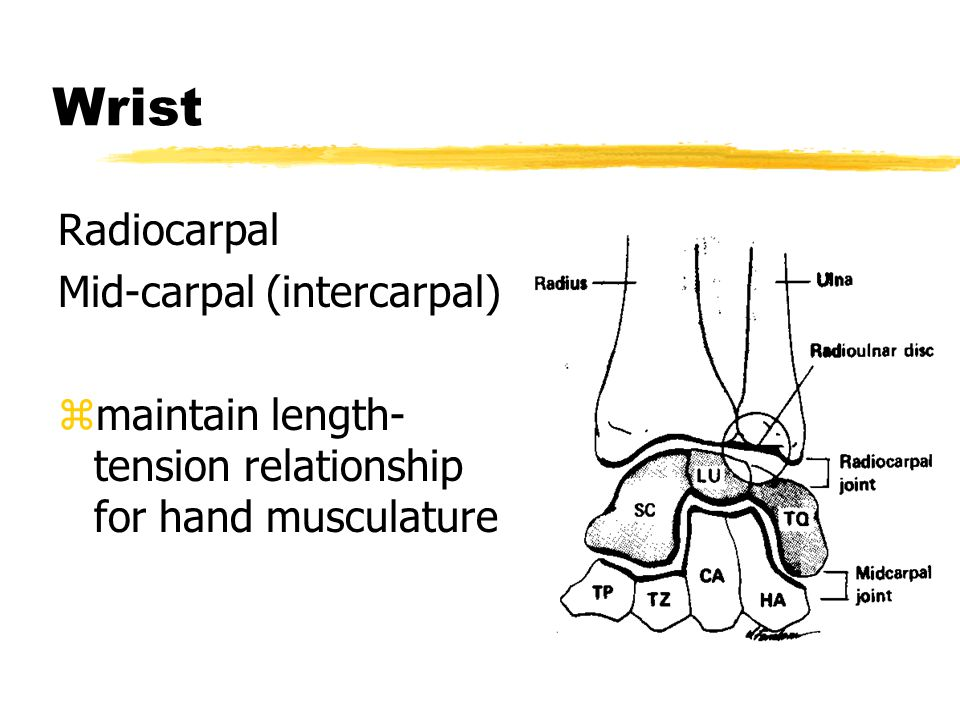 Wrist Radiocarpal Mid-carpal (intercarpal)