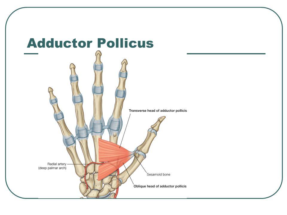 Adductor Pollicus