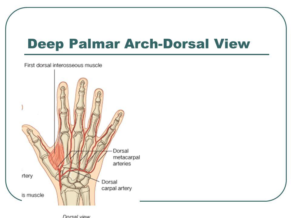 Deep Palmar Arch-Dorsal View