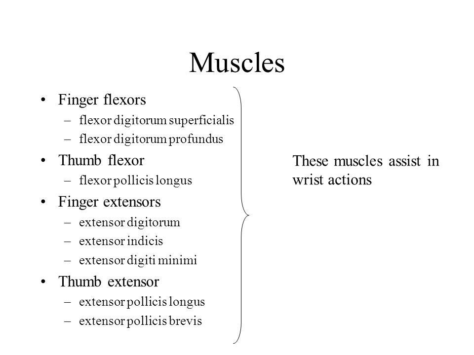 Muscles Finger flexors Thumb flexor Finger extensors