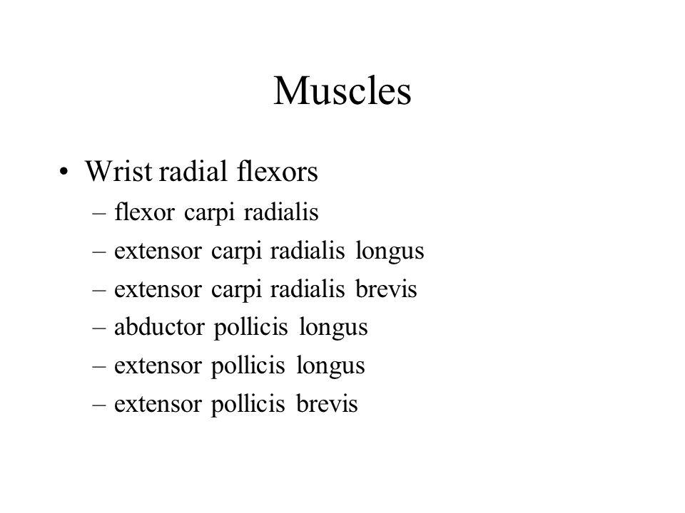 Muscles Wrist radial flexors flexor carpi radialis
