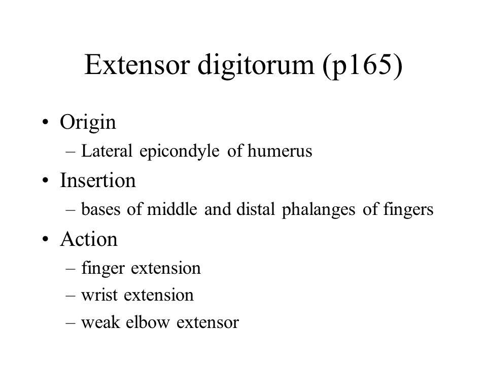 Extensor digitorum (p165)