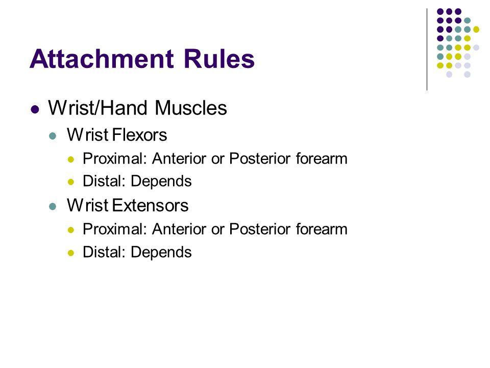 Attachment Rules Wrist/Hand Muscles Wrist Flexors Wrist Extensors