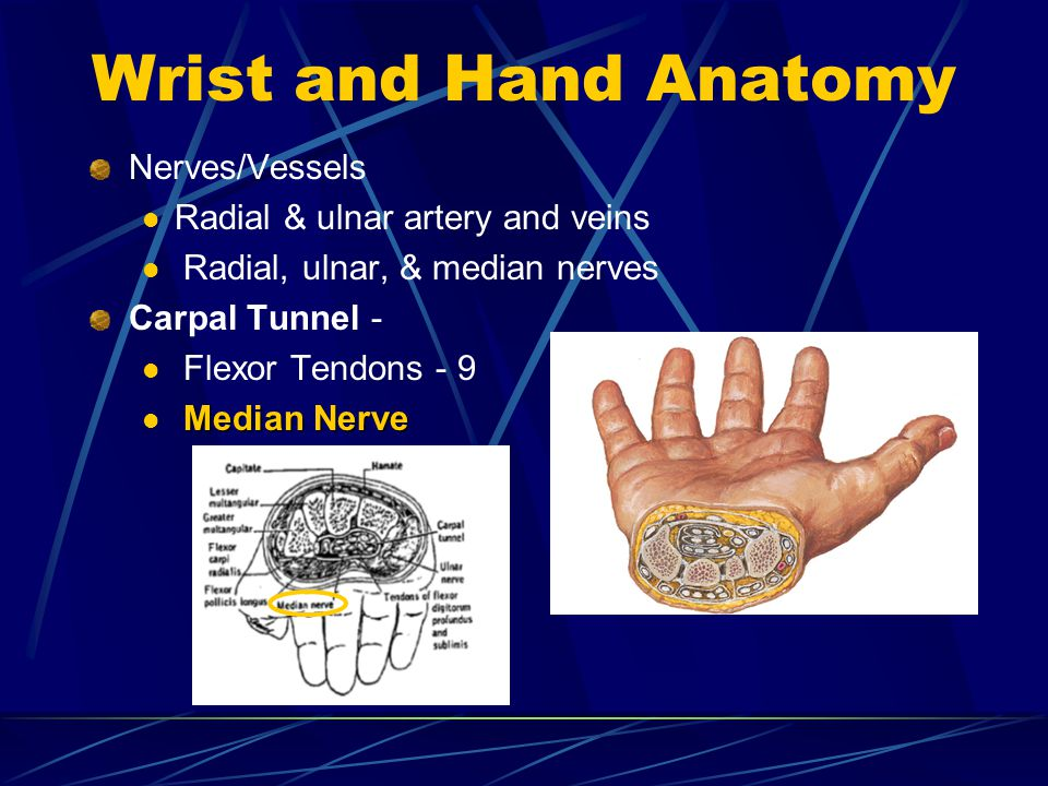 Wrist and Hand Anatomy Nerves/Vessels Radial & ulnar artery and veins