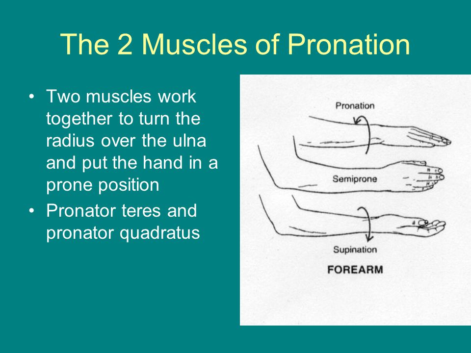 The 2 Muscles of Pronation