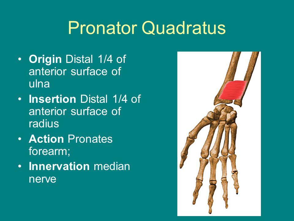 Pronator Quadratus Origin Distal 1/4 of anterior surface of ulna