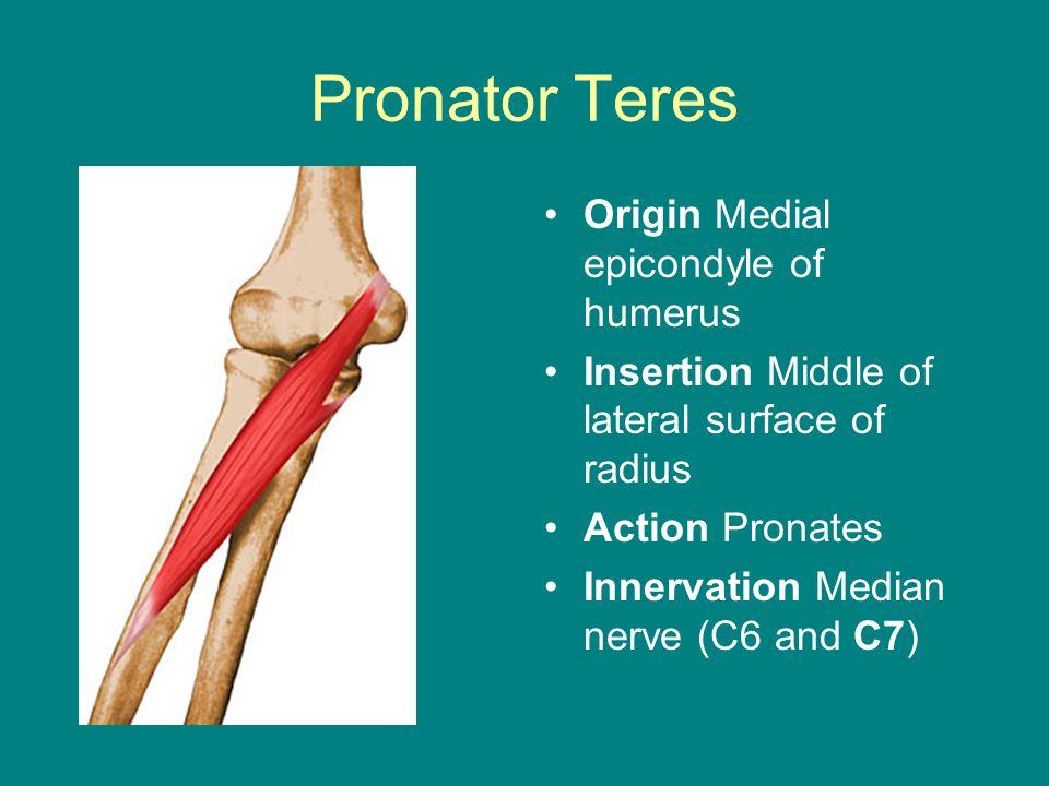 Pronator Teres Origin Medial epicondyle of humerus