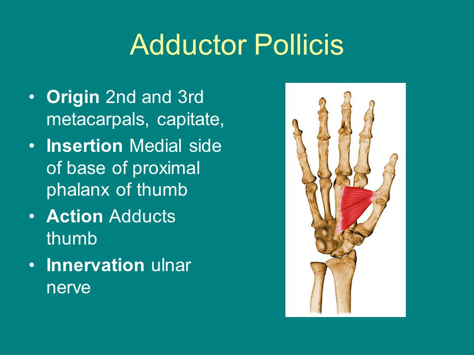 Adductor Pollicis Origin 2nd and 3rd metacarpals, capitate,