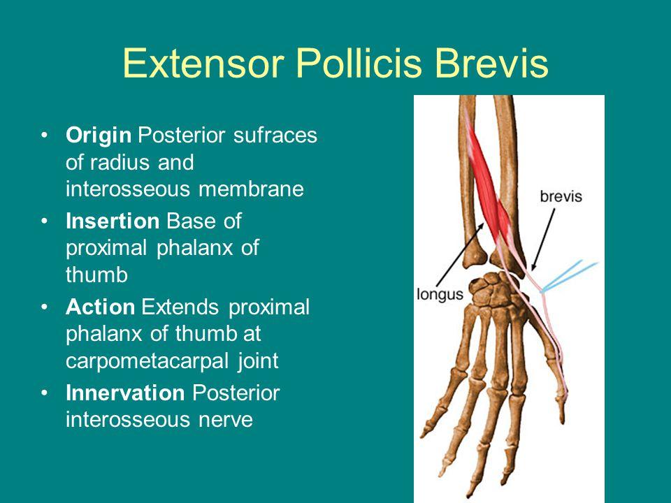Extensor Pollicis Brevis