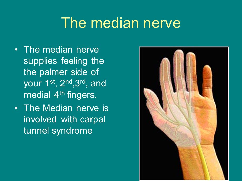 The median nerve The median nerve supplies feeling the the palmer side of your 1st, 2nd,3rd, and medial 4th fingers.
