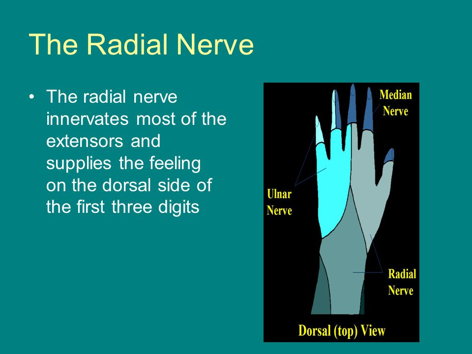 The Radial Nerve The radial nerve innervates most of the extensors and supplies the feeling on the dorsal side of the first three digits.