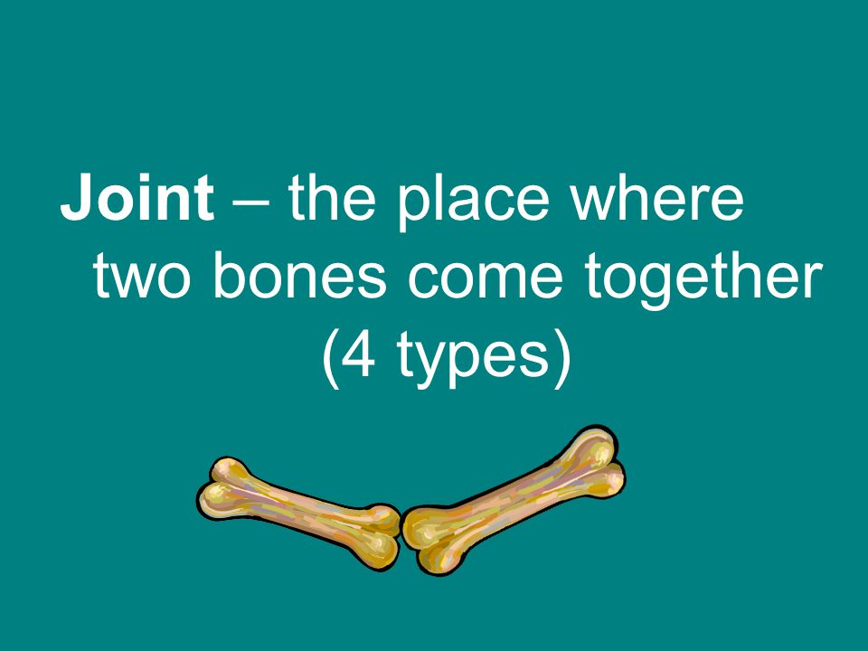 Joint – the place where two bones come together (4 types)