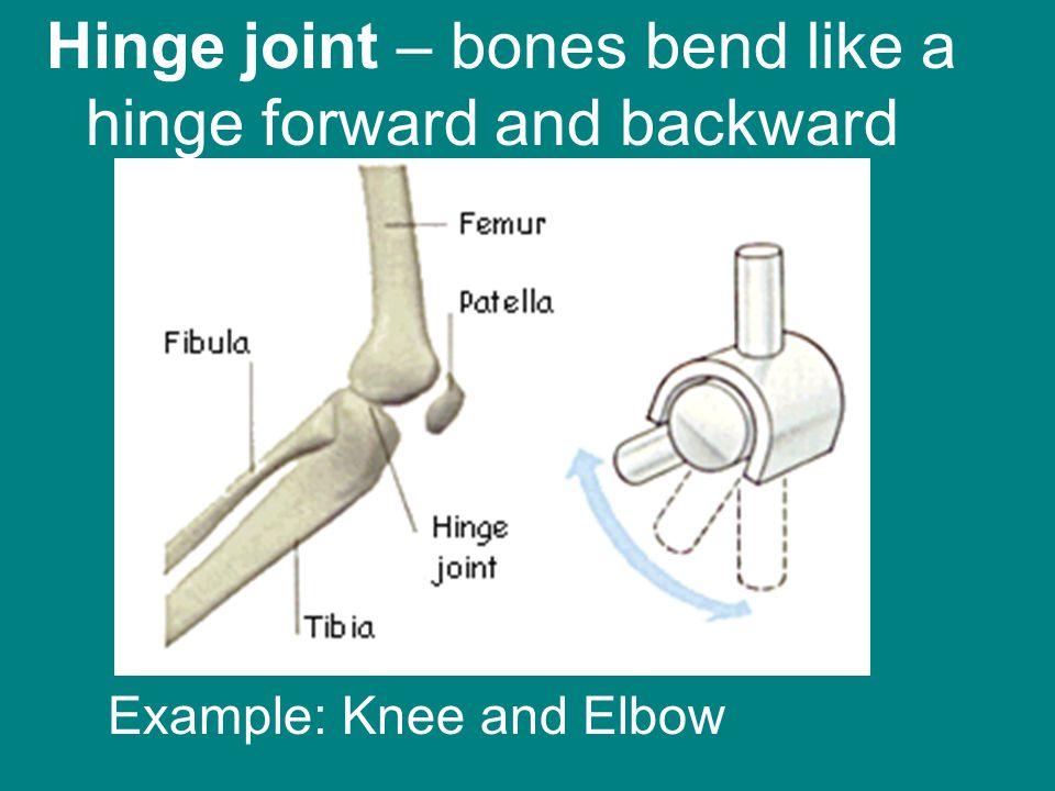 Hinge joint – bones bend like a hinge forward and backward