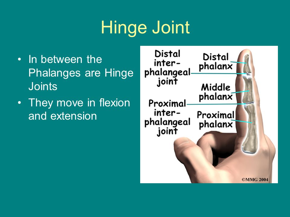 Hinge Joint In between the Phalanges are Hinge Joints