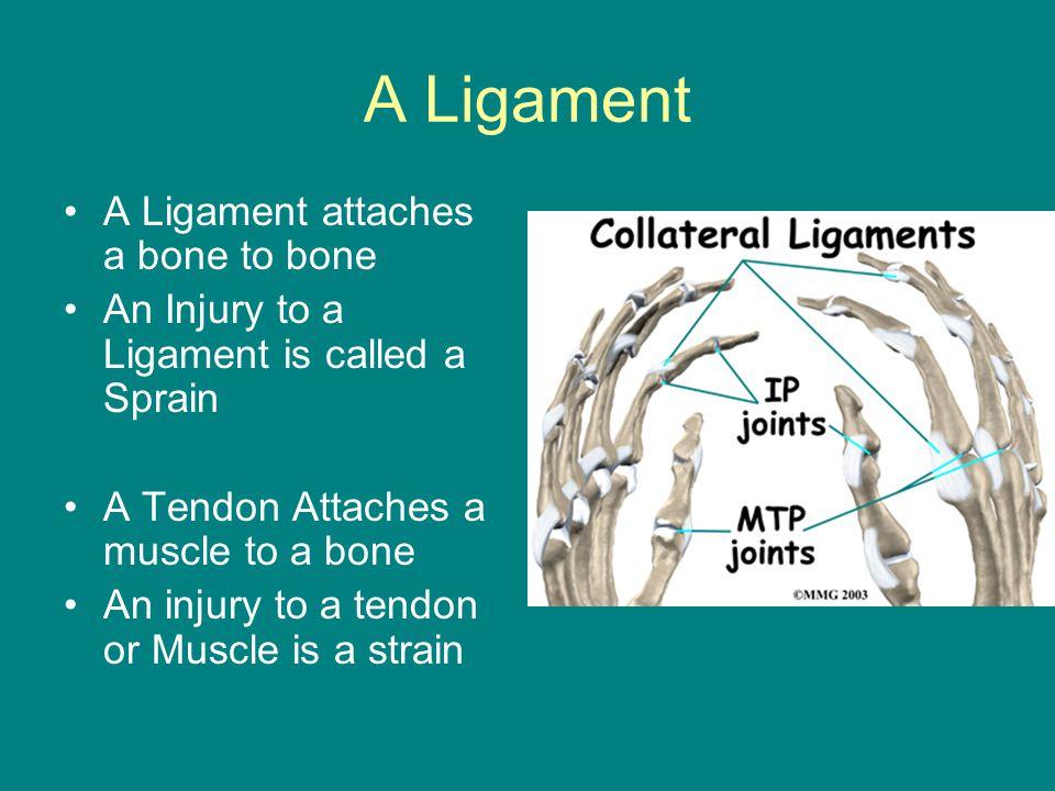 A Ligament A Ligament attaches a bone to bone