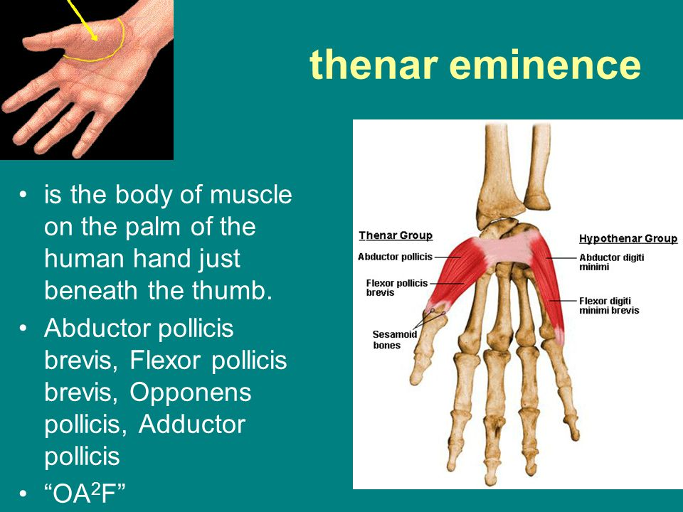 thenar eminence is the body of muscle on the palm of the human hand just beneath the thumb.
