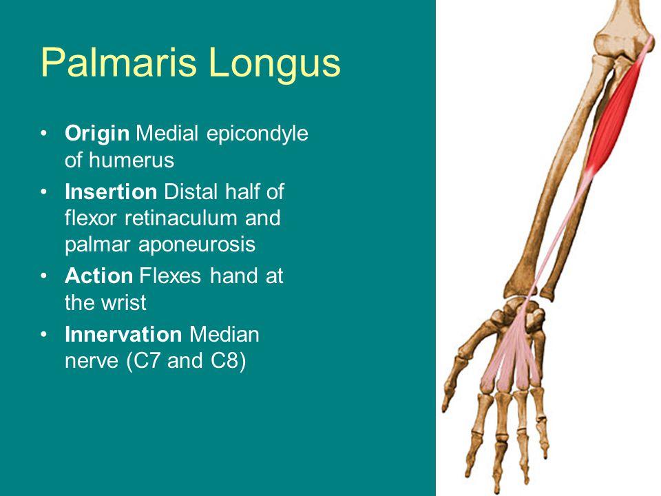 Palmaris Longus Origin Medial epicondyle of humerus
