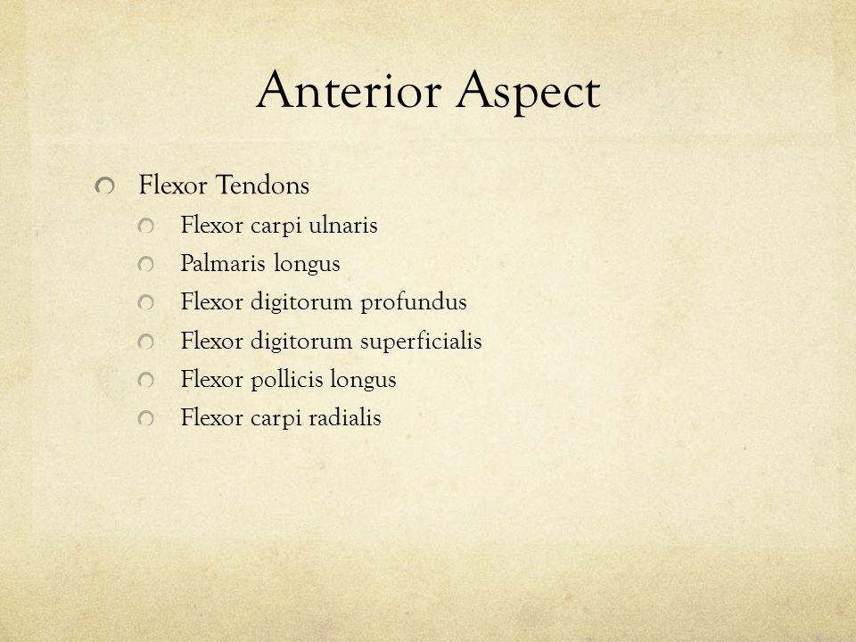 Anterior Aspect Flexor Tendons Flexor carpi ulnaris Palmaris longus