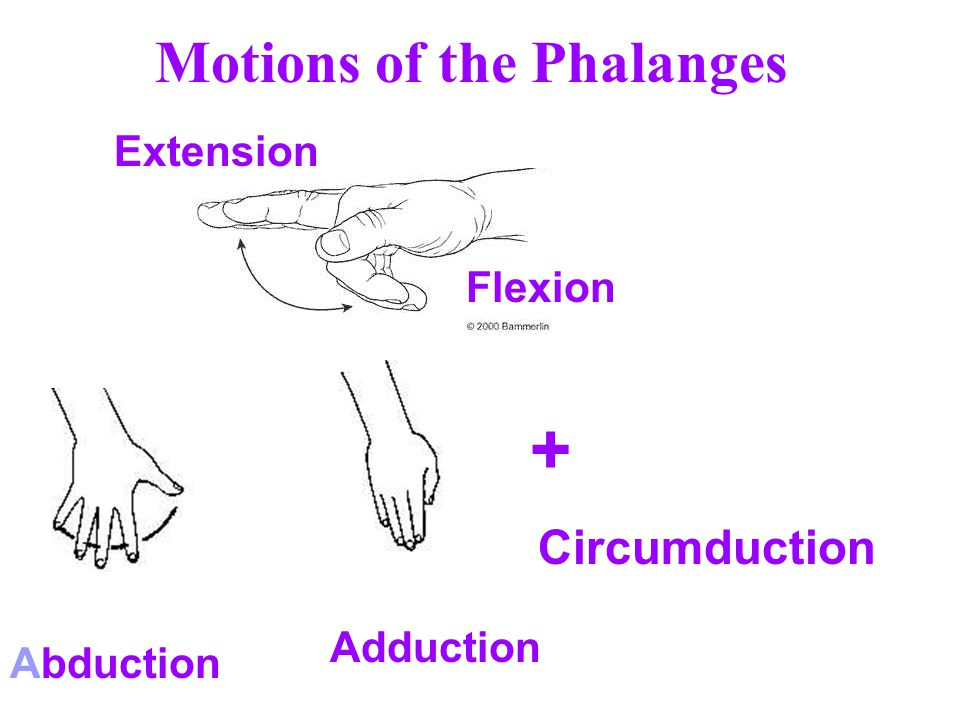 Motions of the Phalanges