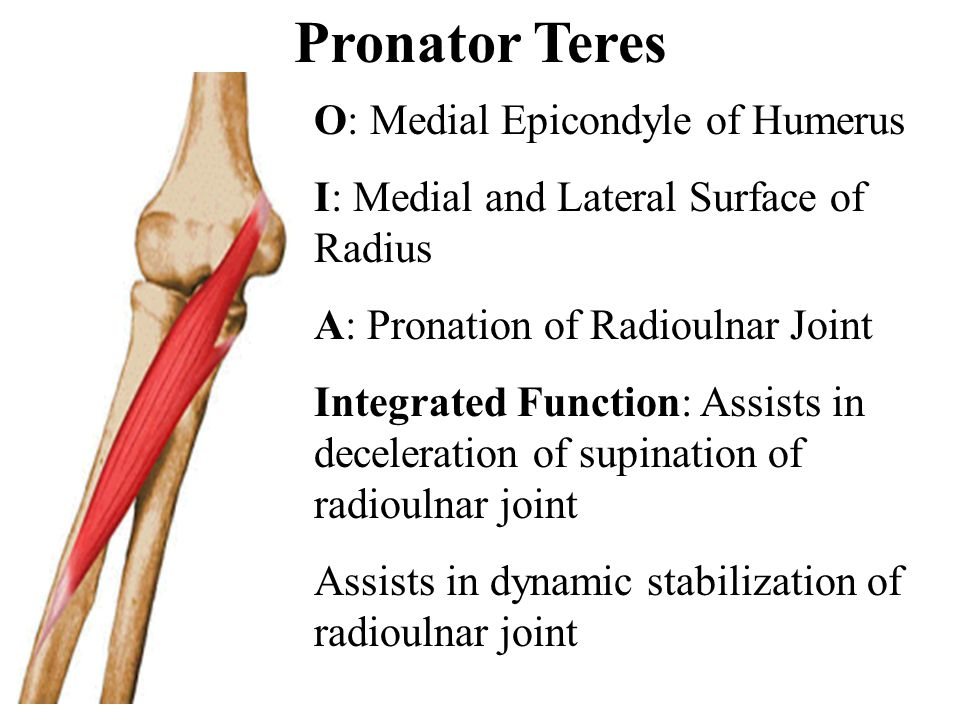 Pronator Teres O: Medial Epicondyle of Humerus