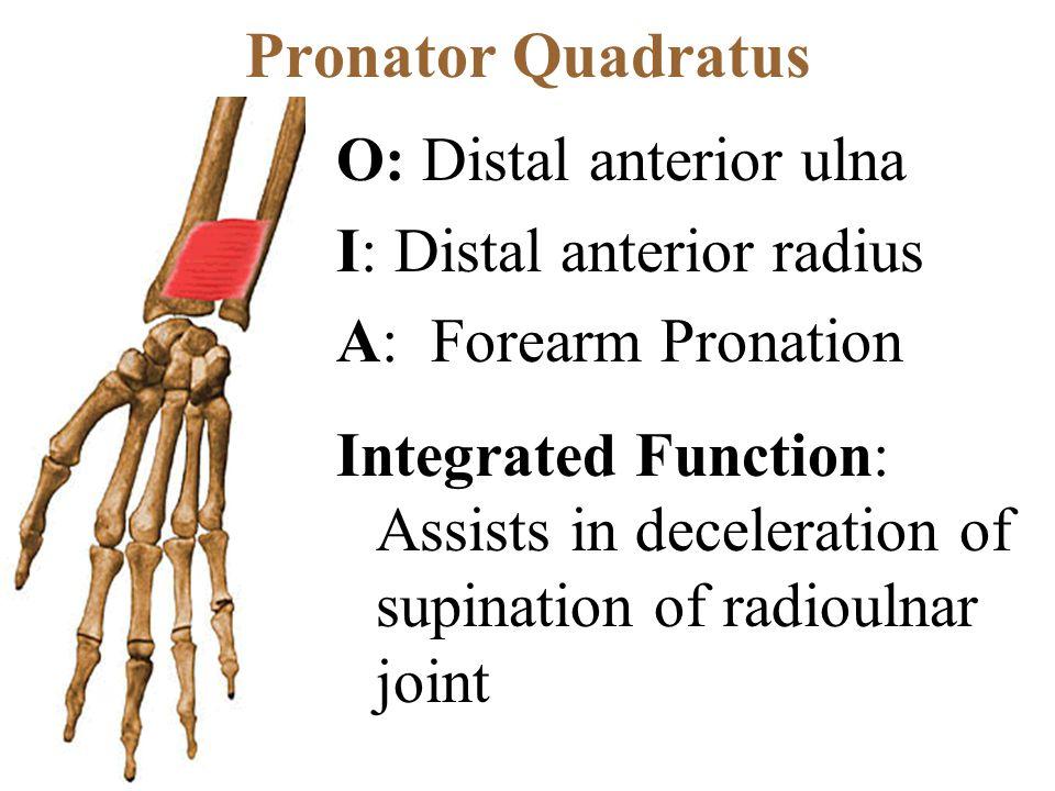 Pronator Quadratus O: Distal anterior ulna I: Distal anterior radius