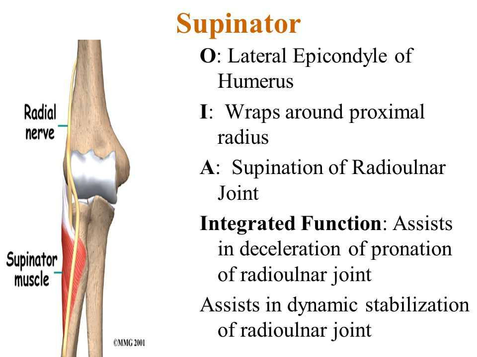 Supinator O: Lateral Epicondyle of Humerus