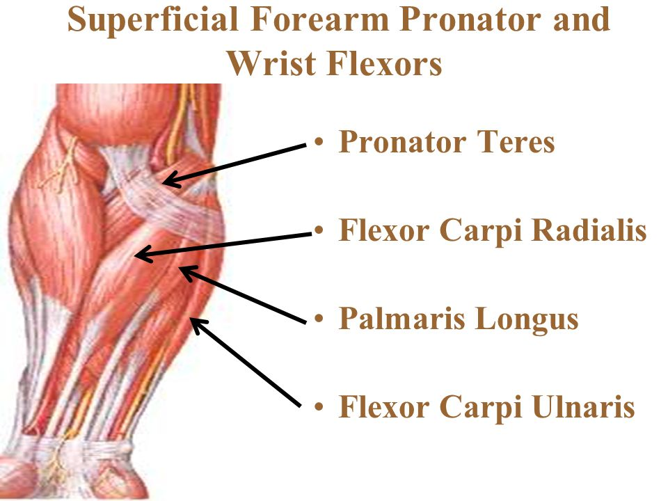 Superficial Forearm Pronator and Wrist Flexors