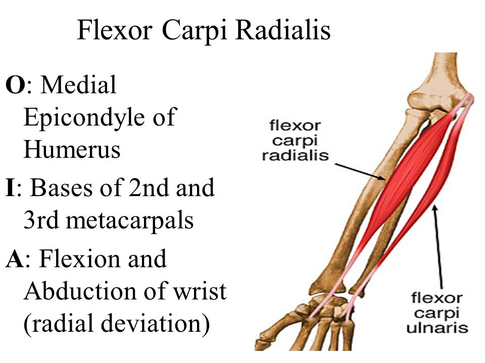 Flexor Carpi Radialis O: Medial Epicondyle of Humerus