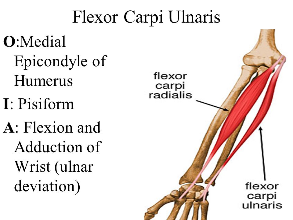 Flexor Carpi Ulnaris O:Medial Epicondyle of Humerus I: Pisiform