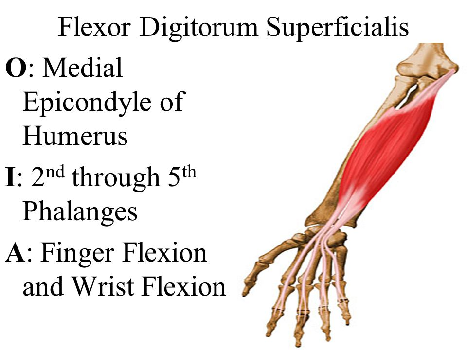 Flexor Digitorum Superficialis